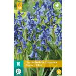 Hyacinthoides hispanica - Waldhyazinthe blau
