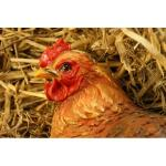 Sitzendes Huhn BRAUN - lebensecht
