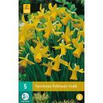 Narcissus February Gold - botanische Narzisse (5 stück)