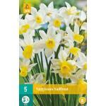 Narcissus Sailboat - botanische Narzisse