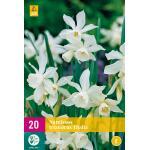 Narcissus triandrus Thalia - Botanische Narzisse