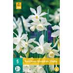 Narcissus triandrus Thalia - Botanische Narzisse (5 stück)