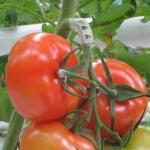 Tomatentriebstütze weiß