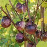 Tomatillo violet - Physalis ixocarpa