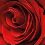 Gartenposter Rose 1 x 1 m